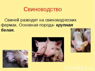 Свиноводство Свиней разводят на свиноводческих фермах. Основная порода- крупная