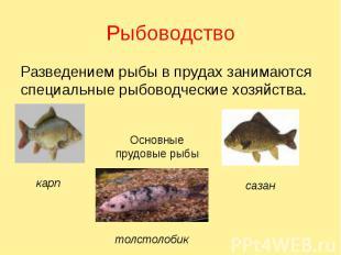 Рыбоводство Разведением рыбы в прудах занимаются специальные рыбоводческие хозяй