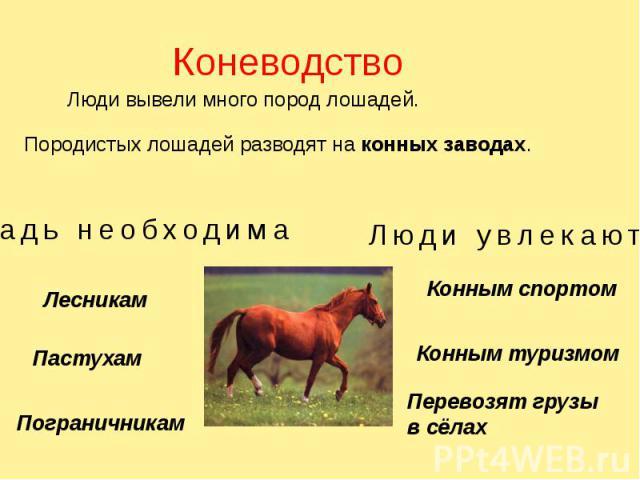 Коневодство Люди вывели много пород лошадей. Породистых лошадей разводят на конных заводах.
