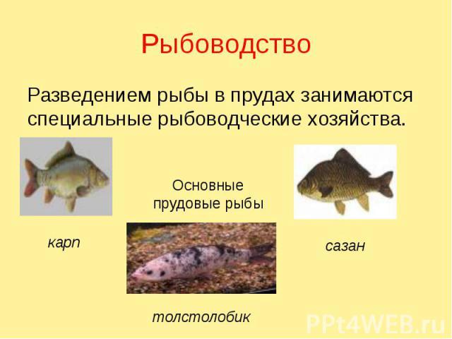 Рыбоводство Разведением рыбы в прудах занимаются специальные рыбоводческие хозяйства.