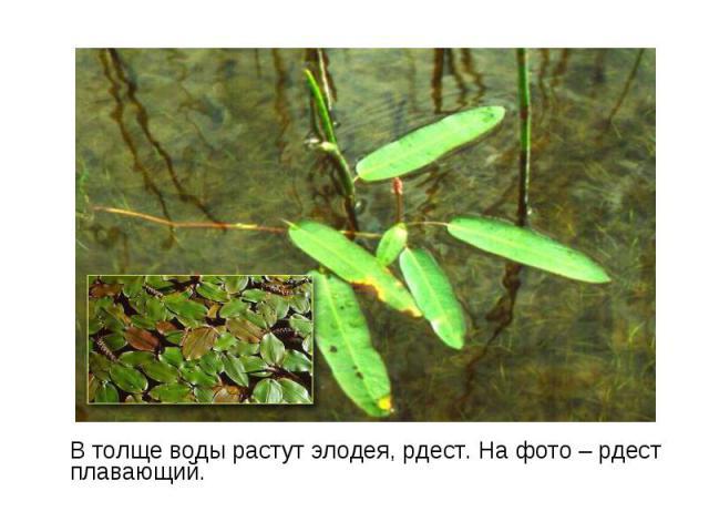 В толще воды растут элодея, рдест. На фото – рдест плавающий. В толще воды растут элодея, рдест. На фото – рдест плавающий.