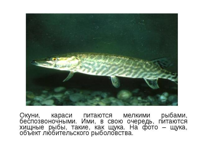 Окуни, караси питаются мелкими рыбами, беспозвоночными. Ими, в свою очередь, питаются хищные рыбы, такие, как щука. На фото – щука, объект любительского рыболовства. Окуни, караси питаются мелкими рыбами, беспозвоночными. Ими, в свою очередь, питают…