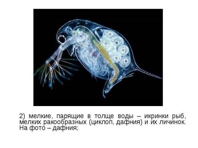 2) мелкие, парящие в толще воды – икринки рыб, мелких ракообразных (циклоп, дафния) и их личинок. На фото – дафния; 2) мелкие, парящие в толще воды – икринки рыб, мелких ракообразных (циклоп, дафния) и их личинок. На фото – дафния;