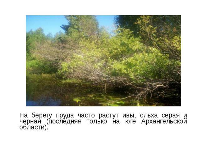 На берегу пруда часто растут ивы, ольха серая и черная (последняя только на юге Архангельской области). На берегу пруда часто растут ивы, ольха серая и черная (последняя только на юге Архангельской области).