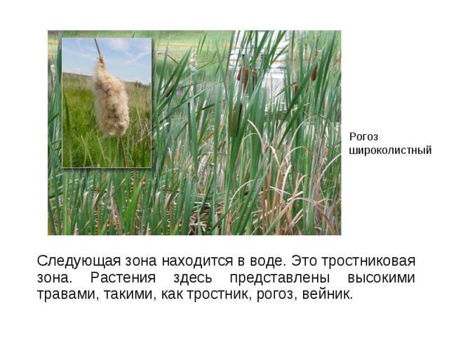 Следующая зона находится в воде. Это тростниковая зона. Растения здесь представлены высокими травами, такими, как тростник, рогоз, вейник. Следующая зона находится в воде. Это тростниковая зона. Растения здесь представлены высокими травами, такими, …