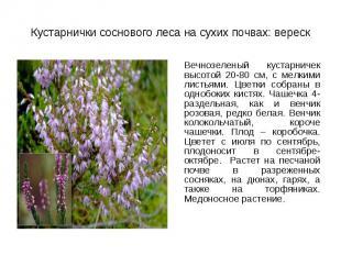 Вечнозеленый кустарничек высотой 20-80 см, с мелкими листьями. Цветки собраны в