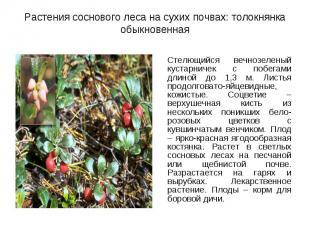 Стелющийся вечнозеленый кустарничек с побегами длиной до 1,3 м. Листья продолгов