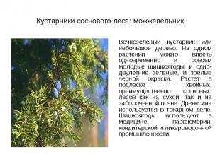Вечнозеленый кустарник или небольшое дерево. На одном растении можно видеть одно