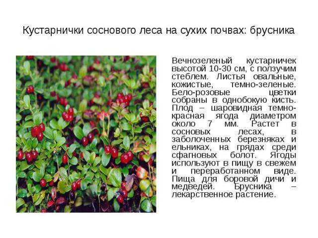 Вечнозеленый кустарничек высотой 10-30 см, с ползучим стеблем. Листья овальные, кожистые, темно-зеленые. Бело-розовые цветки собраны в однобокую кисть. Плод – шаровидная темно-красная ягода диаметром около 7 мм. Растет в сосновых лесах, в заболоченн…