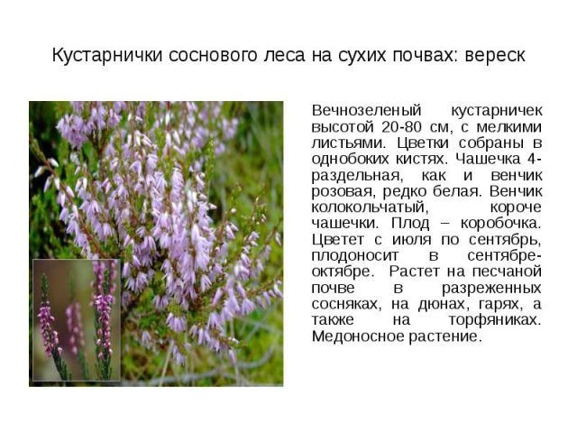 Вечнозеленый кустарничек высотой 20-80 см, с мелкими листьями. Цветки собраны в однобоких кистях. Чашечка 4-раздельная, как и венчик розовая, редко белая. Венчик колокольчатый, короче чашечки. Плод – коробочка. Цветет с июля по сентябрь, плодоносит …