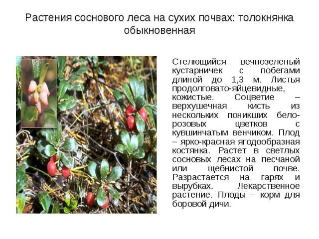 Стелющийся вечнозеленый кустарничек с побегами длиной до 1,3 м. Листья продолговато-яйцевидные, кожистые. Соцветие – верхушечная кисть из нескольких поникших бело-розовых цветков с кувшинчатым венчиком. Плод – ярко-красная ягодообразная костянка. Ра…
