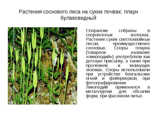 Спорангии собраны в спороносных колосках. Растение сухих светлохвойных лесов, преимущественно сосновых. Споры плауна (товарное название «ликоподий») употребляли как детскую присыпку, а также при пролежнях и мокнущих экземах. Споры использовали при у…