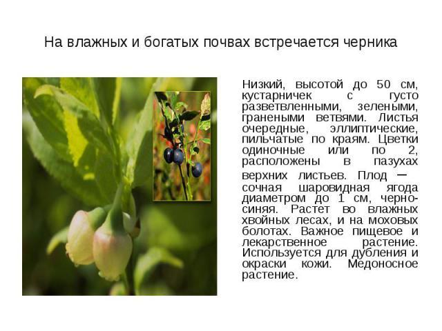 Низкий, высотой до 50 см, кустарничек с густо разветвленными, зелеными, гранеными ветвями. Листья очередные, эллиптические, пильчатые по краям. Цветки одиночные или по 2, расположены в пазухах верхних листьев. Плод – сочная шаровидная ягода диаметро…