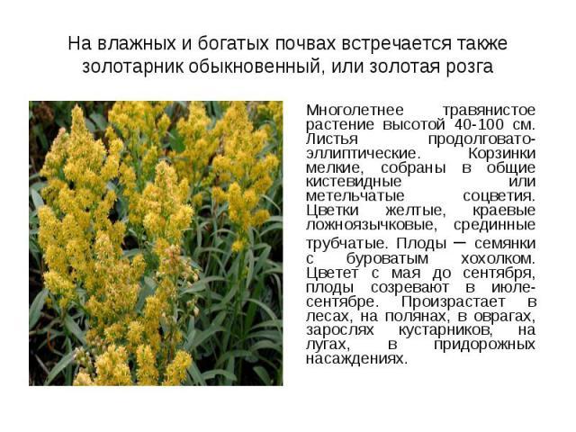 Многолетнее травянистое растение высотой 40-100 см. Листья продолговато-эллиптические. Корзинки мелкие, собраны в общие кистевидные или метельчатые соцветия. Цветки желтые, краевые ложноязычковые, срединные трубчатые. Плоды – семянки с буроватым хох…