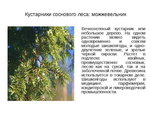 Вечнозеленый кустарник или небольшое дерево. На одном растении можно видеть одновременно и совсем молодые шишкоягоды, и одно-двулетние зеленые, и зрелые черной окраски. Растет в подлеске хвойных, преимущественно сосновых, лесов как на сухой, так и н…