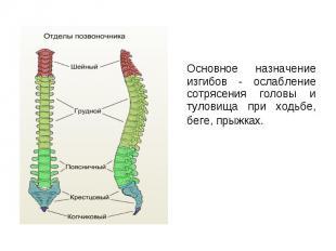 Основное назначение изгибов - ослабление сотрясения головы и туловища при ходьбе