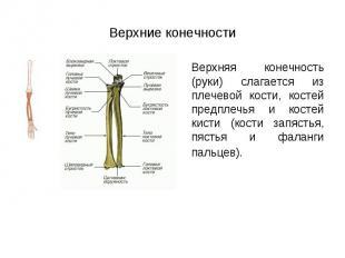 Верхняя конечность (руки) слагается из плечевой кости, костей предплечья и косте