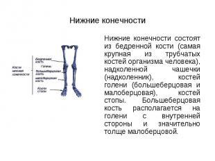 Нижние конечности состоят из бедренной кости (самая крупная из трубчатых костей