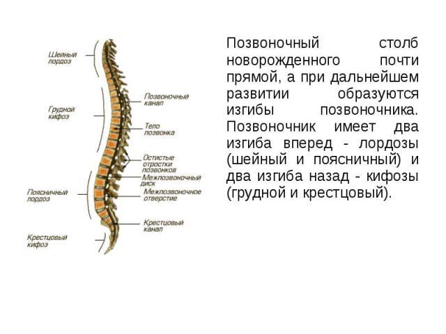 Позвоночный столб новорожденного почти прямой, а при дальнейшем развитии образуются изгибы позвоночника. Позвоночник имеет два изгиба вперед - лордозы (шейный и поясничный) и два изгиба назад - кифозы (грудной и крестцовый). Позвоночный столб новоро…