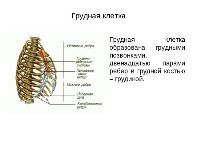 Грудная клетка образована грудными позвонками, двенадцатью парами ребер и грудной костью – грудиной. Грудная клетка образована грудными позвонками, двенадцатью парами ребер и грудной костью – грудиной.