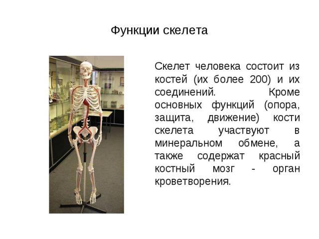 Скелет человека состоит из костей (их более 200) и их соединений. Кроме основных функций (опора, защита, движение) кости скелета участвуют в минеральном обмене, а также содержат красный костный мозг - орган кроветворения. Скелет человека состоит из …