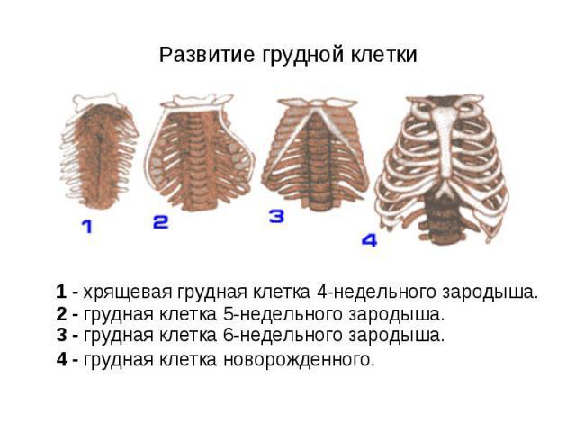 1 - хрящевая грудная клетка 4-недельного зародыша. 2 - грудная клетка 5-недельного зародыша. 3 - грудная клетка 6-недельного зародыша. 4 - грудная клетка новорожденного. 1 - хрящевая грудная клетка 4-недельного зародыша. 2 - грудная клетка 5-недельн…