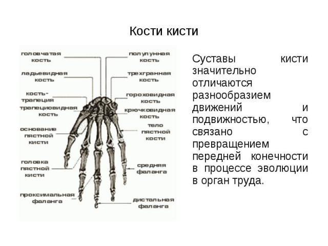 Суставы кисти значительно отличаются разнообразием движений и подвижностью, что связано с превращением передней конечности в процессе эволюции в орган труда. Суставы кисти значительно отличаются разнообразием движений и подвижностью, что связано с п…