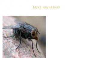 ВИД: Муха комнатная - Musca domestica ВИД: Муха комнатная - Musca domestica Спут