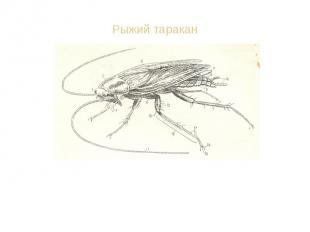Останки таракана находят в залежах 300-миллионолетней давности. Несколько видов