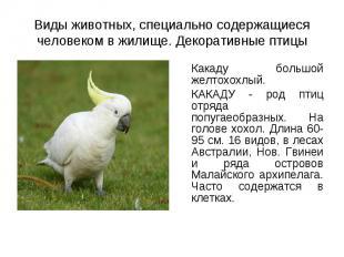 Какаду большой желтохохлый. Какаду большой желтохохлый. КАКАДУ - род птиц отряда