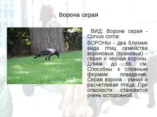 ВИД: Ворона серая - Corvus cornix ВИД: Ворона серая - Corvus cornix ВОРОНЫ - два