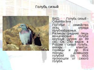 ВИД: Голубь сизый - Columba livia ВИД: Голубь сизый - Columba livia ГОЛУБИ - сем