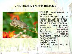 МЫШИ (мышиные) - семейство млекопитающих отряда грызунов. Длина тела 5-50 см, хв