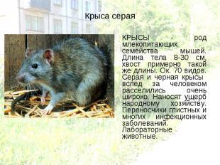 КРЫСЫ - род млекопитающих семейства мышей. Длина тела 8-30 см, хвост примерно та
