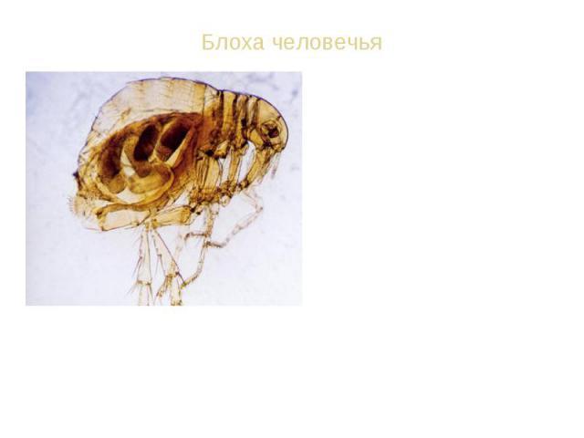 ВИД: Блоха человечья - Pulex irritans Ротовой аппарат колюще-сосущий. Крыльев нет, задние ноги прыгательные. Длина 1-6 мм. Ок. 1000 видов. Взрослые блохи паразитируют на птицах, млекопитающих и человеке, питаясь кровью; переносчики возбудителей инфе…