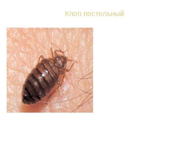 ВИД: Постельный клоп обыкновенный - Cimex lectularius. Тело постельного клопа красновато-бурого цвета. Ноги постельного клопа - ходильные. За одну минуту он может пробежать расстояние в 1 м, т. е. дистанцию, в 200 раз большую, чем длина тела самого …