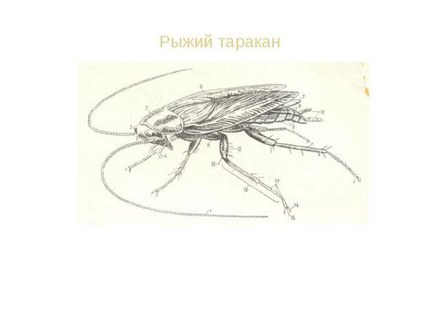 Останки таракана находят в залежах 300-миллионолетней давности. Несколько видов таракана стали сожителями человека. Могут есть почти всё. Загрязняют квартиру. Останки таракана находят в залежах 300-миллионолетней давности. Несколько видов таракана с…