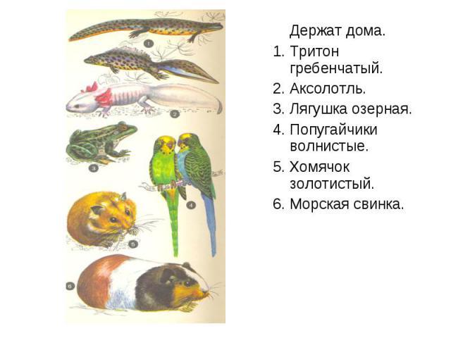 Держат дома. Держат дома. 1. Тритон гребенчатый. 2. Аксолотль. 3. Лягушка озерная. 4. Попугайчики волнистые. 5. Хомячок золотистый. 6. Морская свинка.