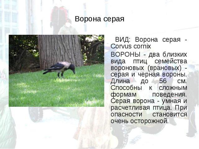 ВИД: Ворона серая - Corvus cornix ВИД: Ворона серая - Corvus cornix ВОРОНЫ - два близких вида птиц семейства вороновых (врановых) - серая и черная вороны. Длина до 56 см. Способны к сложным формам поведения. Серая ворона - умная и расчетливая птица.…