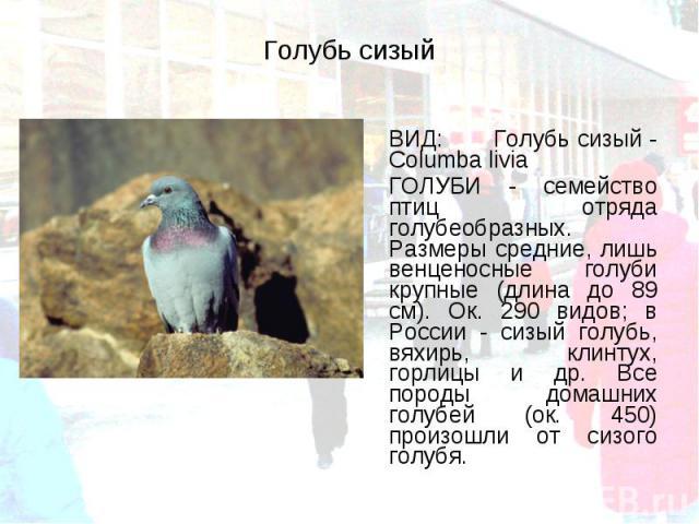 ВИД: Голубь сизый - Columba livia ВИД: Голубь сизый - Columba livia ГОЛУБИ - семейство птиц отряда голубеобразных. Размеры средние, лишь венценосные голуби крупные (длина до 89 см). Ок. 290 видов; в России - сизый голубь, вяхирь, клинтух, горлицы и …