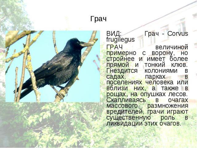 ВИД: Грач - Corvus frugilegus ВИД: Грач - Corvus frugilegus ГРАЧ величиной примерно с ворону, но стройнее и имеет более прямой и тонкий клюв. Гнездится колониями в садах, парках в поселениях человека или вблизи них, а также в рощах, на опушках лесов…