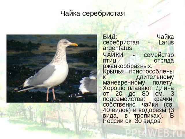 ВИД: Чайка серебристая - Larus argentatus ВИД: Чайка серебристая - Larus argentatus ЧАЙКИ - семейство птиц отряда ржанкообразных. Крылья приспособлены к длительному маневренному полету. Хорошо плавают. Длина от 20 до 80 см. 3 подсемейства: крачки, с…