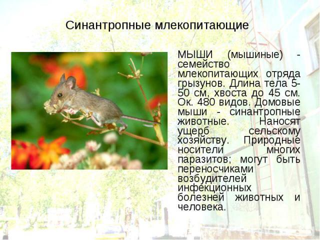 МЫШИ (мышиные) - семейство млекопитающих отряда грызунов. Длина тела 5-50 см, хвоста до 45 см. Ок. 480 видов. Домовые мыши - синантропные животные. Наносят ущерб сельскому хозяйству. Природные носители многих паразитов; могут быть переносчиками возб…