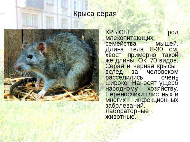 КРЫСЫ - род млекопитающих семейства мышей. Длина тела 8-30 см, хвост примерно такой же длины. Ок. 70 видов. Серая и черная крысы вслед за человеком расселились очень широко. Наносят ущерб народному хозяйству. Переносчики глистных и многих инфекционн…