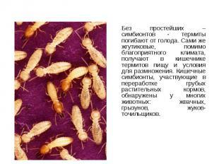 Без простейших – симбионтов - термиты погибают от голода. Сами же жгутиковые, по