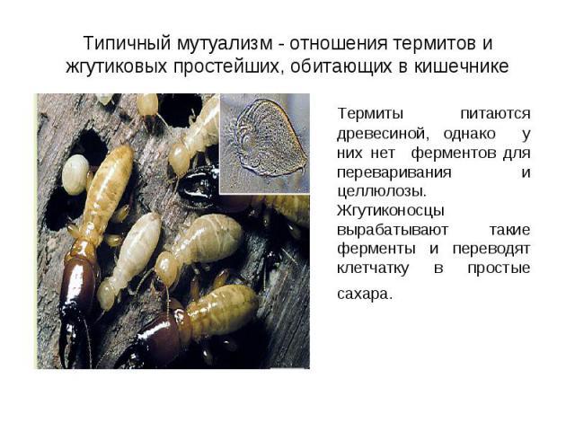 Термиты питаются древесиной, однако у них нет ферментов для переваривания и целлюлозы. Жгутиконосцы вырабатывают такие ферменты и переводят клетчатку в простые сахара. Термиты питаются древесиной, однако у них нет ферментов для переваривания и целлю…