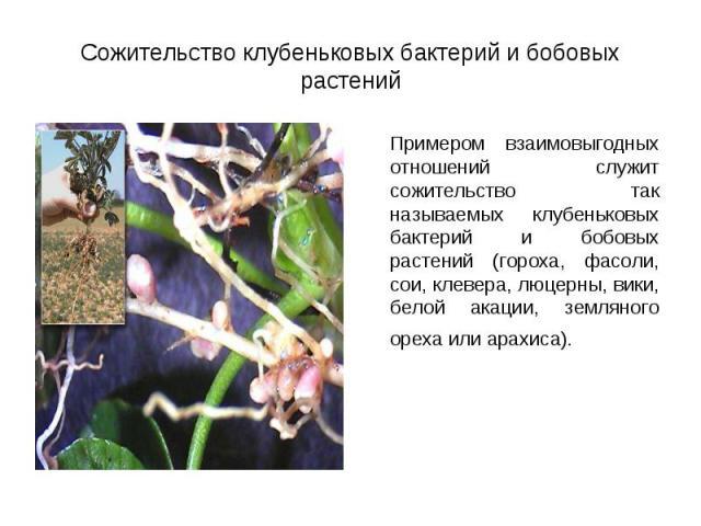 Примером взаимовыгодных отношений служит сожительство так называемых клубеньковых бактерий и бобовых растений (гороха, фасоли, сои, клевера, люцерны, вики, белой акации, земляного ореха или арахиса). Примером взаимовыгодных отношений служит сожитель…