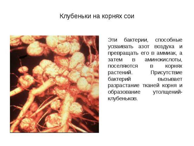 Эти бактерии, способные усваивать азот воздуха и превращать его в аммиак, а затем в аминокислоты, поселяются в корнях растений. Присутствие бактерий вызывает разрастание тканей корня и образование утолщений- клубеньков. Эти бактерии, способные усваи…