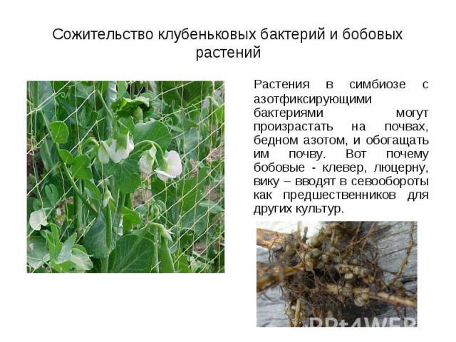 Растения в симбиозе с азотфиксирующими бактериями могут произрастать на почвах, бедном азотом, и обогащать им почву. Вот почему бобовые - клевер, люцерну, вику – вводят в севообороты как предшественников для других культур. Растения в симбиозе с азо…
