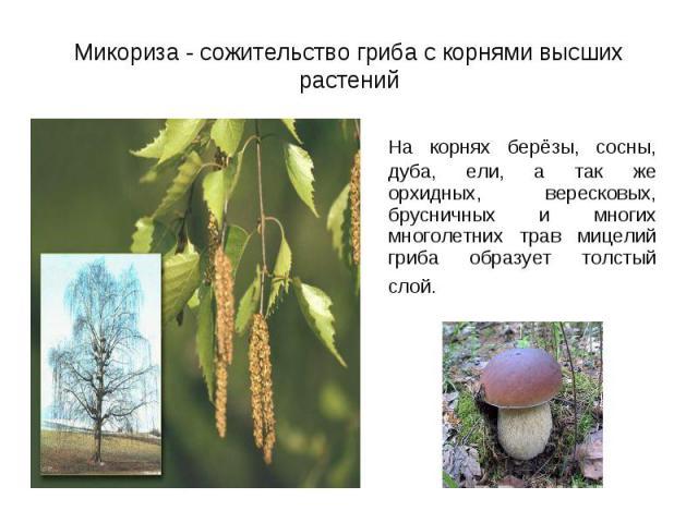 На корнях берёзы, сосны, дуба, ели, а так же орхидных, вересковых, брусничных и многих многолетних трав мицелий гриба образует толстый слой. На корнях берёзы, сосны, дуба, ели, а так же орхидных, вересковых, брусничных и многих многолетних трав мице…